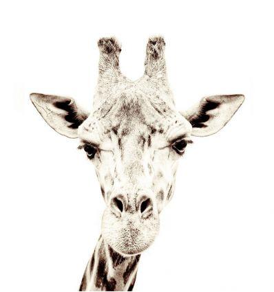 groovy magnets - carta da parati magnetica giraffa